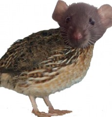 Rat-Caille2.jpg