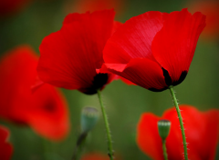 coquelicot-4.png